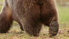 Dorsal view Brown Bear walking in swamp slow motion Stock Footage