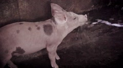 Little piggy in the barnyard Stock Footage
