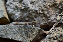 Gray lizard lying on a rock Stock Photos
