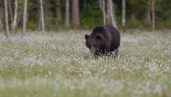 Huge Brown Bear walking in swamp at night out of frame left to right slow motion Stock Footage