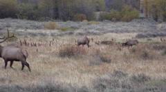 Elk in the Rut - stock footage