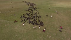 Aerial Cattle Drive Stock Footage