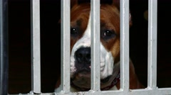 Staffordshire terrier sad in animal shelter behind chain fence Stock Footage