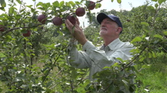 Farmer looking at apples on apple tree, wide shot - stock footage
