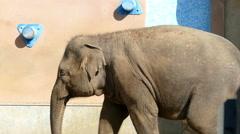 Elephant summer pass left UHD Stock Footage