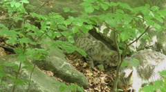4K footage of a Wildcat (Felis silvestris) kitten with her mother Stock Footage