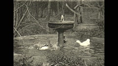 Vintage 16mm film, 1932, Philadelphia, happy ducks water preening Stock Footage