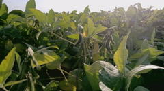 Stock Video Footage of Soy Plant Field against the sun - Close-up detail of seeds before harvest,