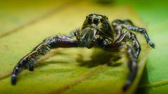 Stock Photo of A male Heavy Jumper (Hyllus)