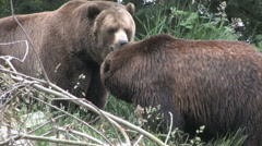 Two grizzly bears in the brush - stock footage