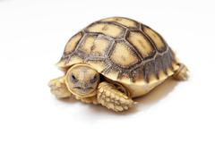Stock Photo of african spurred tortoise or geochelone sulcata on white background