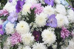 close up gerbera flower in garden - stock photo