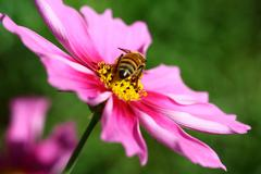 Bee pollinated on deep purple cosmos flower - stock photo