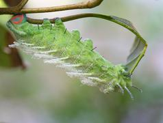 close up butterfly worm on tree - stock photo
