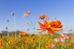 Closeup Orange cosmos flowers or Sulfur cosmos Stock Photos