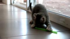 Kitten MCU playing with a plastic straw Stock Footage