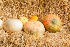 Stock Photo of Pumpkin harvest season on the farm