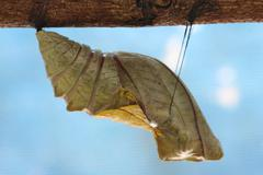 Beautiful Monarch chrysalis on tree , butterfly Stock Photos
