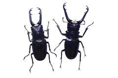 Beetle isolated on white background Kuvituskuvat