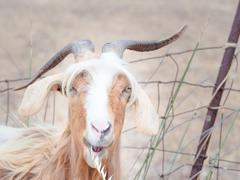 goat disheveled in campaign - stock photo