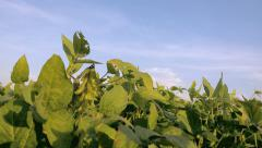 Stock Video Footage of Soy Plant Field in front of blue sky - Close-up detail of seeds before harvest,