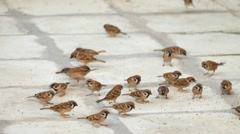 Flock of sparrows fighting over bread crumbs Stock Footage