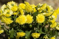 Yellow Chrysanthemum flowers in autumn garden - stock photo