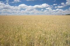 Vast agricultural wheat field Stock Photos