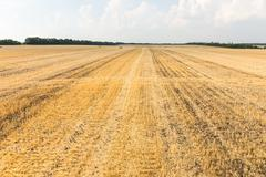 Harvested wheat field with remaining plant stubble Kuvituskuvat
