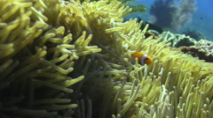 A false clown fish hides in a magnificent anemone home, in clear blue tropical w Stock Footage