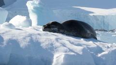 Seal sleeping on an Iceberg Stock Footage