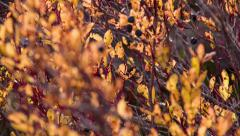 Autumn Leaves Close Blueberries Focus in out HD Stock Footage