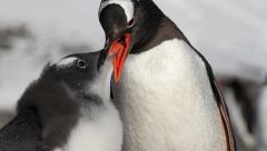 Gentoo penguins feeding Stock Footage