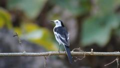 Beautiful white and black bird, male White Wagtail (Motacilla alba) on a branch Stock Footage