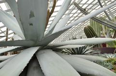 Close up of huge agave plants - stock photo