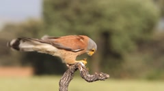 Male of lesser kestrel eating a big insect on a windy afternoon. Stock Footage