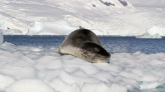 Leopard Seal lying on an Iceberg Stock Footage