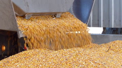 Fresh harvested corn - stock footage