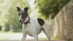 Close Up of Noble Looking Whippet Dog - Super Slow Motion 2 Stock Footage