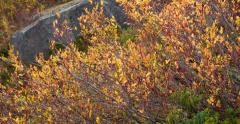 Autumnal Foliage Rise Blueberries and Tundra Stone 2K - stock footage