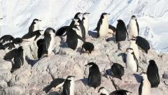 Chinstrap penguin flock Stock Footage