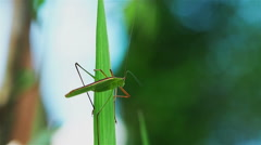 Grass Hopper standing on a green leaf Stock Footage