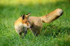 Red fox in green grass from side looking back and stick it's tongue out - stock photo