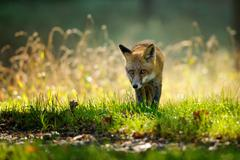 Red fox from front view in autumn backlight Stock Photos