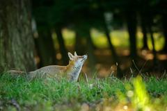 Red fox from side looking up to the treetop in the nice autumn sunlight - stock photo