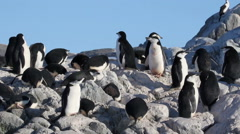 Chinstrap penguin colony Stock Footage