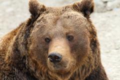 big brown bear portrait ( Ursus arctos ) - stock photo
