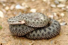Stock Photo of european common adder ready to strike, looking towards the camera ( Vipera be