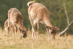 Fallow deer family ( Dama ) grazing on meadow, vintage look Kuvituskuvat