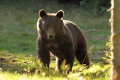 huge brown bear ( Ursus arctos ), wild specimen in harghita mountains - stock photo